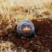 Tips om snel mollen in de tuin te bestrijden